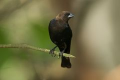 Brown Headed Cowbird. Perched on a branch - Molothrus ater stock images