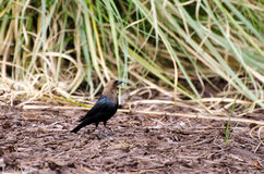 Brown headed Cowbird Stock Photography