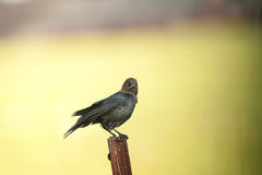 Brown-headed Cowbird eye contact Royalty Free Stock Photography