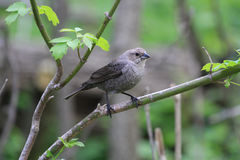 Brown-headed Cowbird female Royalty Free Stock Images