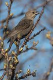 Brown-headed Cowbird Royalty Free Stock Photos