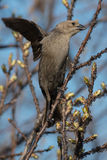 Brown-headed Cowbird Royalty Free Stock Photo