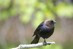 Brown-headed Cowbird Stock Photo