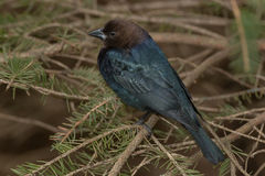 Brown-headed Cowbird Royalty Free Stock Images