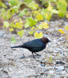 Brown-headed Cowbird - Molothrus ater, adult male Stock Image