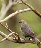 Brown-headed Cowbird, Molothrus ater. Female brown-headed cowbird, Molothrus ater, perched on a tree branch Royalty Free Stock Photo