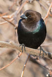 Brown-headed Cowbird Royalty Free Stock Image