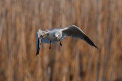 Brown-headed gull Royalty Free Stock Photo