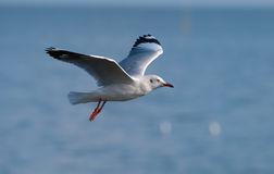Brown-headed gull Royalty Free Stock Image