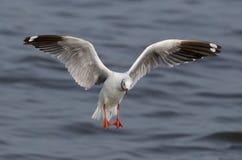 Brown-headed gull Stock Photo