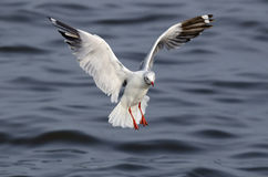 Brown-headed gull Royalty Free Stock Photos
