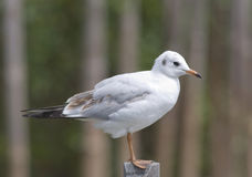 Brown-headed Gull Stock Photo