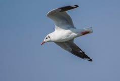 A Brown Headed Gull bird Stock Image