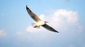 Brown-headed Gull (Chroicocephalus brunnicephalus) on the blue s Royalty Free Stock Photography