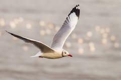 Brown-headed gull (Chroicocephalus brunnicephalus) Royalty Free Stock Photos