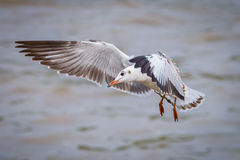 Brown-headed gull Stock Images