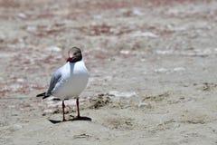 Brown-headed gull Chroicocephalus brunnicephalus on the shore of lake Manasarovar. Tibet.  stock photo