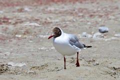 Brown-headed gull Chroicocephalus brunnicephalus on the shore of lake Manasarovar. Tibet.  stock images