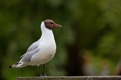 Brown-headed Gull - Chroicocephalus brunnicephalus Royalty Free Stock Images