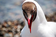 Brown-headed gull,close up Royalty Free Stock Photography
