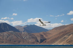 Brown headed Gull in flight over pangong lake, Ladakh,  India Royalty Free Stock Photos