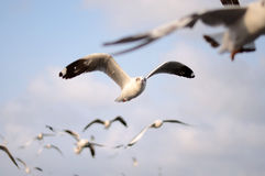 Brown headed Gull on flying. Royalty Free Stock Photography