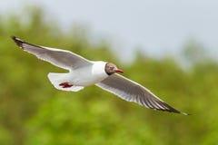 Brown headed Gull flying Stock Photos