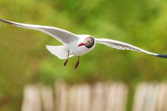 Brown headed Gull flying Royalty Free Stock Photos