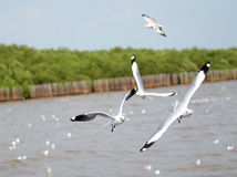 Brown headed Gull on flying. Royalty Free Stock Image