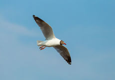Brown headed Gull flying (Larus brunnicecephalus) with blue sky background Royalty Free Stock Photo