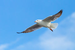 Brown headed Gull flying (Larus brunnicecephalus) Stock Images