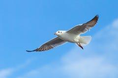 Brown headed Gull flying (Larus brunnicecephalus) Stock Images