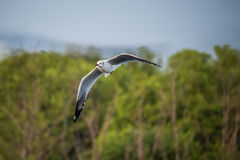 Brown-headed gull flying Royalty Free Stock Photography