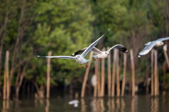 Brown-headed gull flying in the sky, Bangpu, Thailand Royalty Free Stock Image