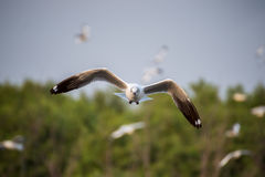 Brown-headed gull flying in the sky Royalty Free Stock Image
