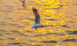 Brown headed Gull flying Stock Images