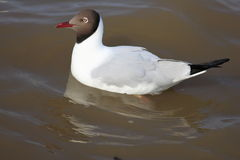 Brown-headed Gull Stock Photography