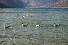 Brown headed Gull in  Pangong Lake, Ladakh, India Stock Photo