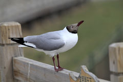 Brown-headed Gull. In rest Stock Photos