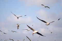 Brown headed Gull with sky background Royalty Free Stock Photos