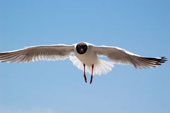 Brown-headed gull Royalty Free Stock Images