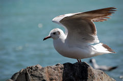 Brown-headed gull Royalty Free Stock Photography
