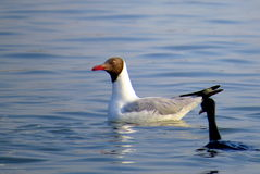 Brown headed gull. Swmming in the sea water stock image