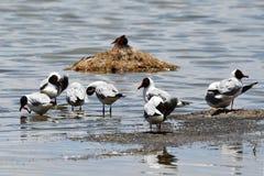 Brown-headed gulls Chroicocephalus brunnicephalus on the shore of lake Manasarovar. Tibet.  royalty free stock photo