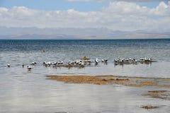 Brown-headed gulls Chroicocephalus brunnicephalus on the shore of lake Manasarovar. Tibet.  royalty free stock photography