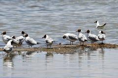 Brown-headed gulls Chroicocephalus brunnicephalus on the shore of lake Manasarovar. Tibet.  stock photo
