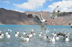 Brown headed gulls flying Stock Photos