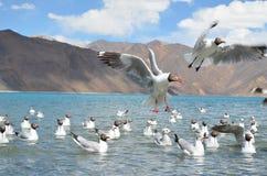 Brown headed gulls flying stock photos