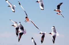 Brown-headed gulls. A group of brown-headed gulls soaring against blue sky royalty free stock photo