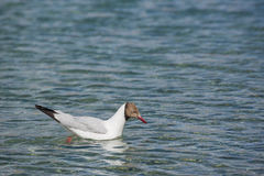 Brown-headed gulls at Pangong Lake in Ladakh,India. Pangong Tso, Tibetan for long, narrow, enchanted lake, also referred to as Pangong Lake, is an endorheic Stock Photography